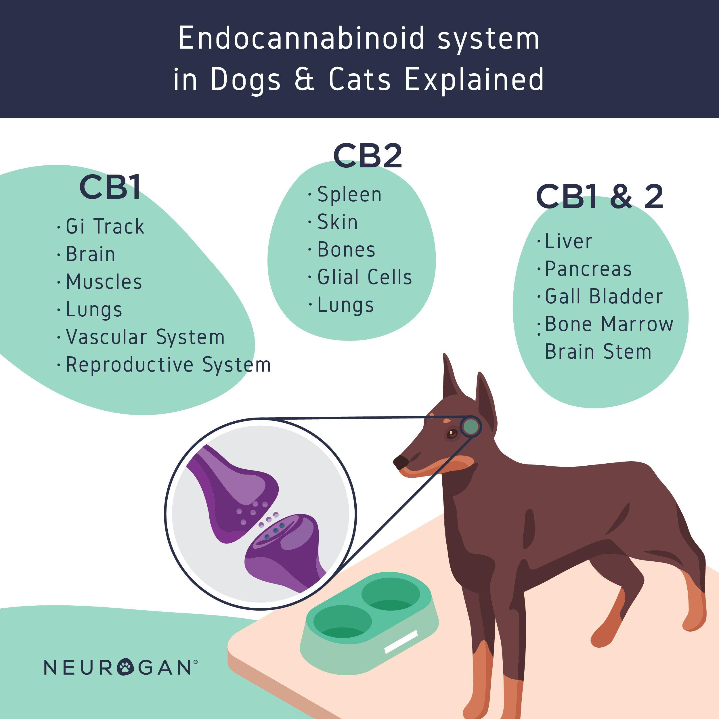 Cannabinoid receptors in pets infographic