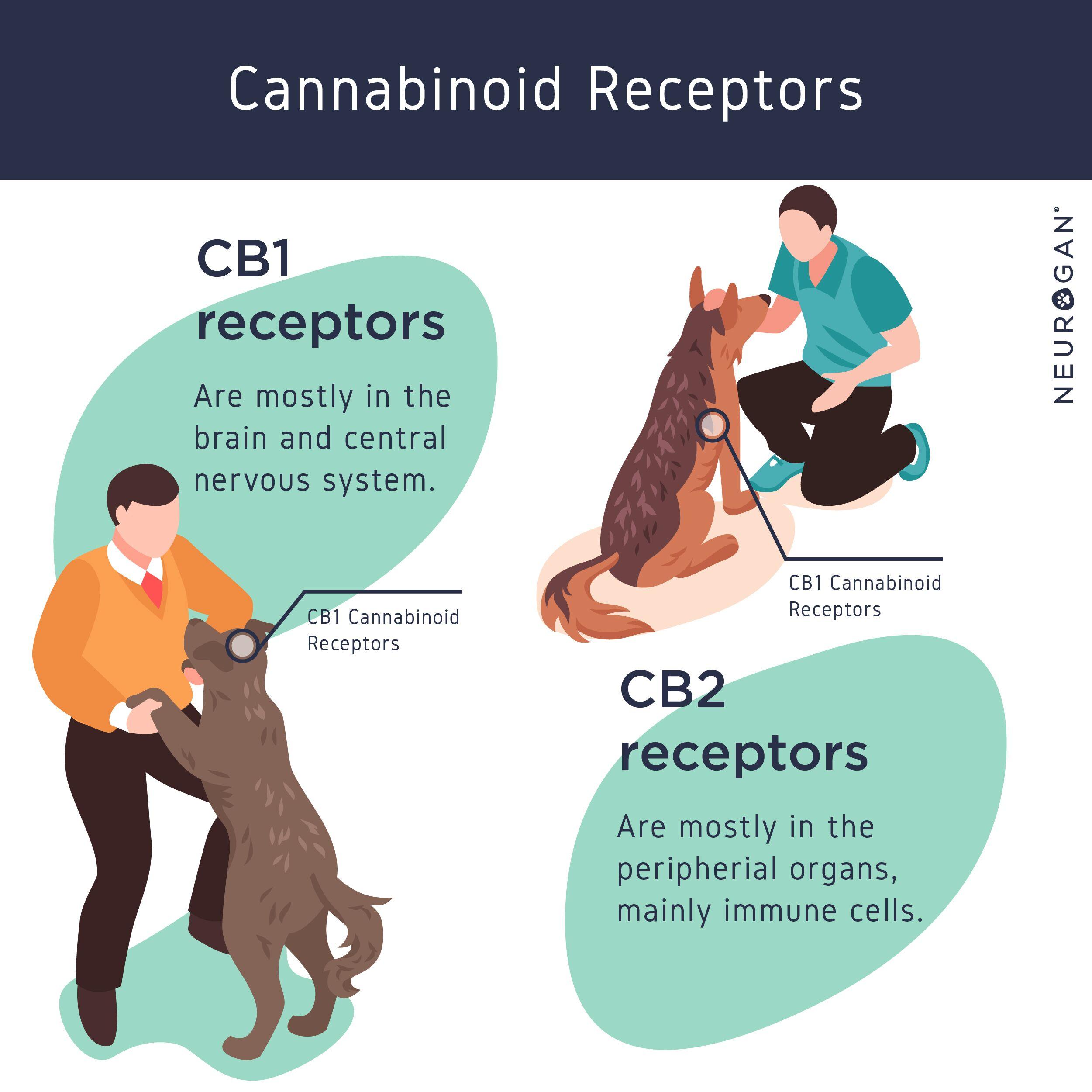 cannabinoid receptors pets infographic